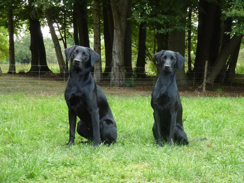 Til højre er det Ravensbank Lili (Fina) og til venstre hendes kuldbror, Ravensbank Bob (Bob). På billedet er de to 12 måneder gamle.©Ravensbank Labrador Retrievers
