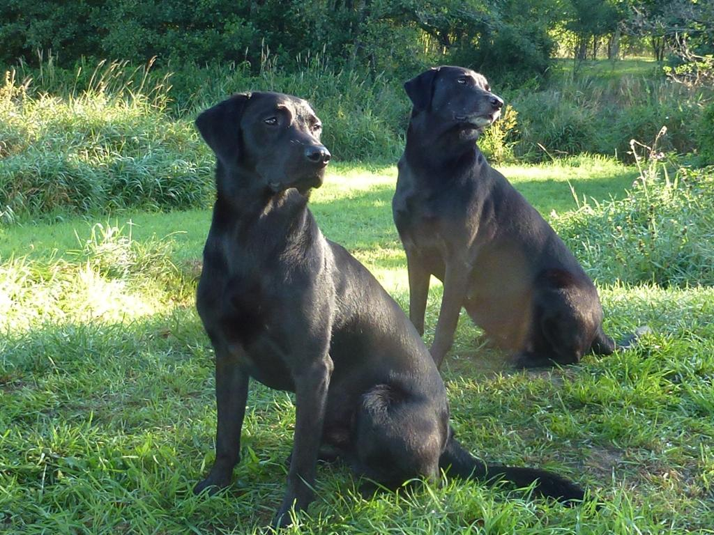 In the background it is Ravensbank Flo (Flo) who is now clearly with her second litter of puppies. In the front it is Ravensbank Bob (Bob) who is the full brother to the puppies inside Flo.©Ravensbank Labrador Retrievers