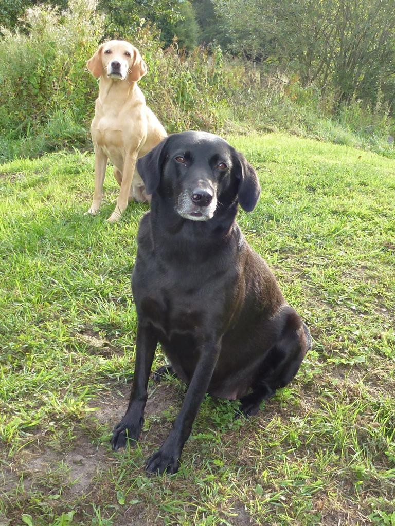 In the front it is the now clearly pregnant Ravensbank Flo (Flo) on her 53rd day. In the background it is Ravensbank Wagtail (Waggie). ©Ravensbank Labrador Retrievers
