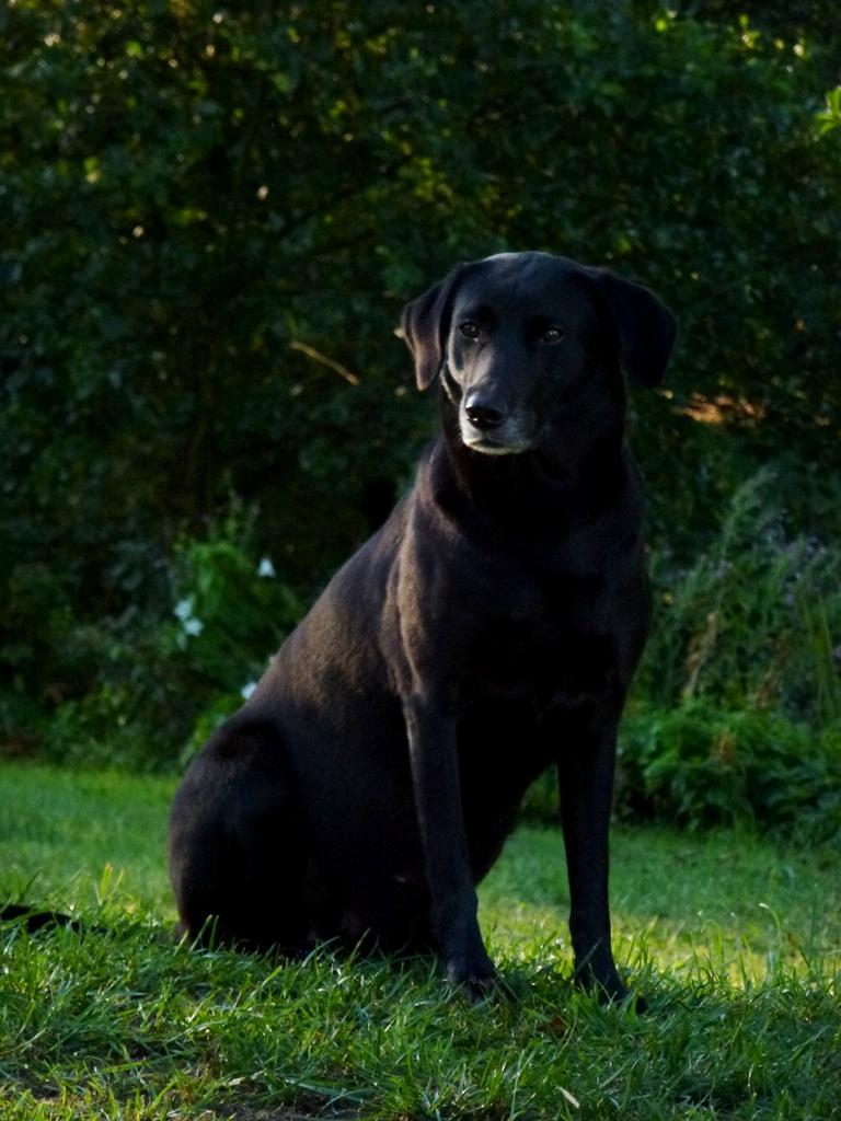 Ravensbank Flo (Flo) er nu tydeligt drægtig med sit andet kuld hvalpe. ©Ravensbank Labrador Retrievers