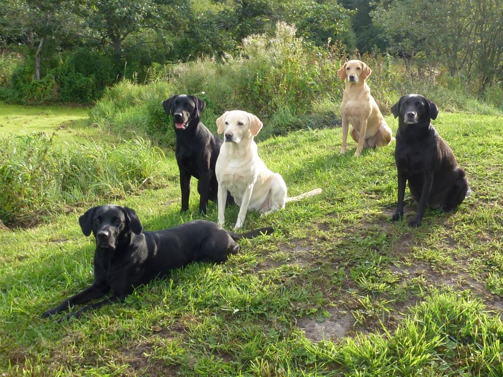 My entire pack on a lovely autumn morning in September 2013. From the left it is Ravensbank Jock (Jock), Ravensbank Bob (Bob), Tidemark Ivy (Ivy), Ravensbank Wagtail (Waggie) and to the right it is the pregnant Ravensbank Flo (Flo) ©Ravensbank Labrador Retrievers