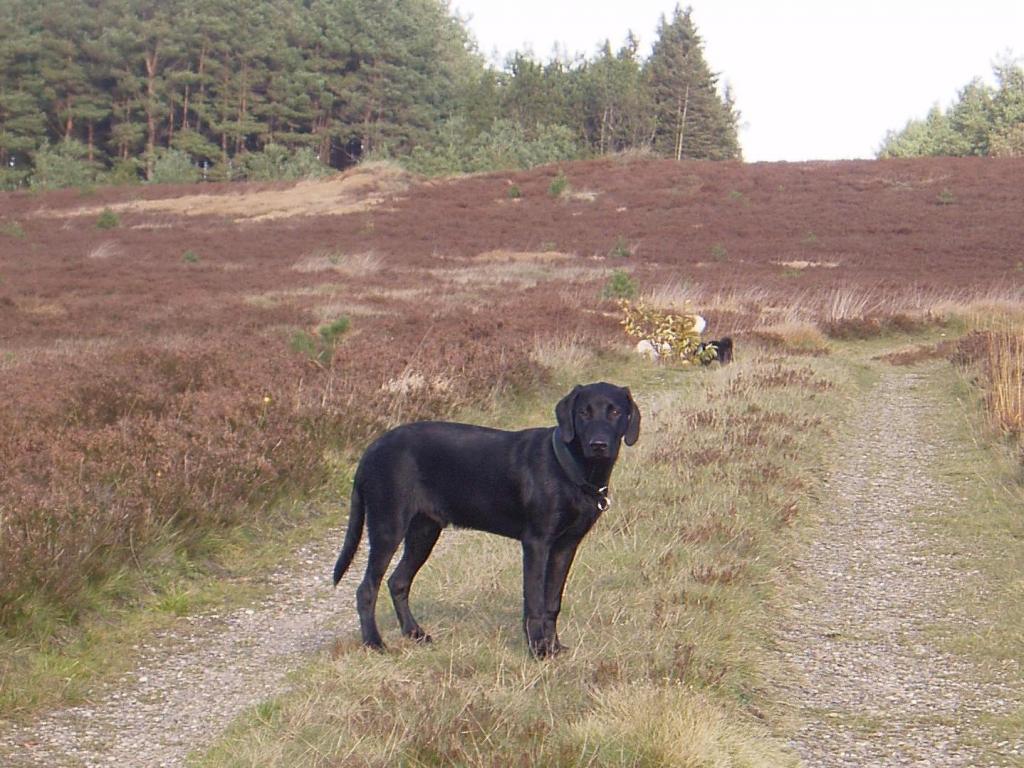 Mange mennesker tror, at en Formel 1 Labrador altid er meget lille. Se nu Ravensbank Max (Freddie) her, som er fotograferet kort før sin 6 måneders fødselsdag. En stor dreng på 23 kg. Billedet er taget på Harrild Hede i Jylland sidst i oktober måned 2008.©Anja Gamst Jensen