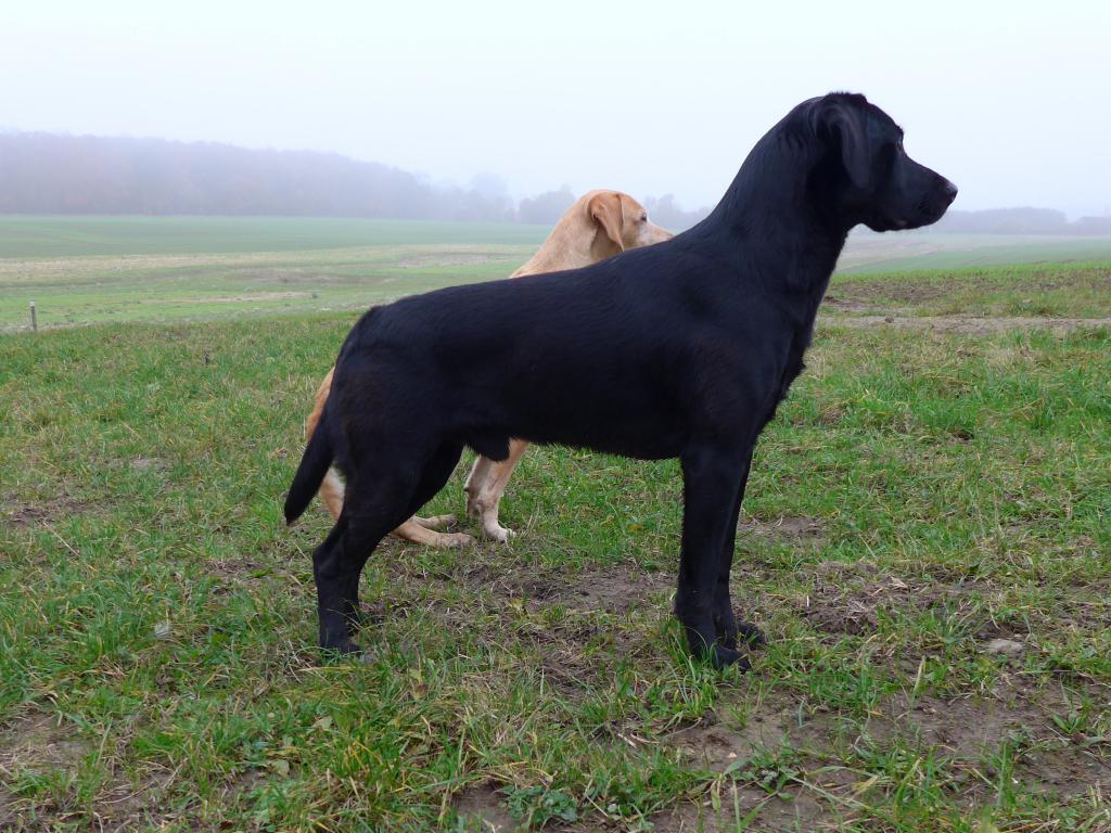 Here Ravensbank Bob (Bob) is out picking up and the birds are falling, while he calmly enjoys the shooting. ©Ravensbank Labrador Retrievers