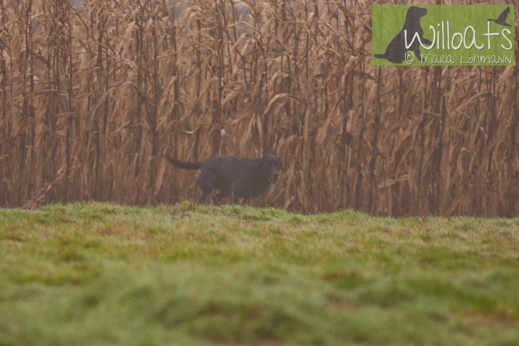 FRFTCH Ravensbank Sir Lancelot (Lance) at Field Trial in France, with his handler Ms. Ann Besnard. January 2015.©Maria Lohmann, Kennel Willoats