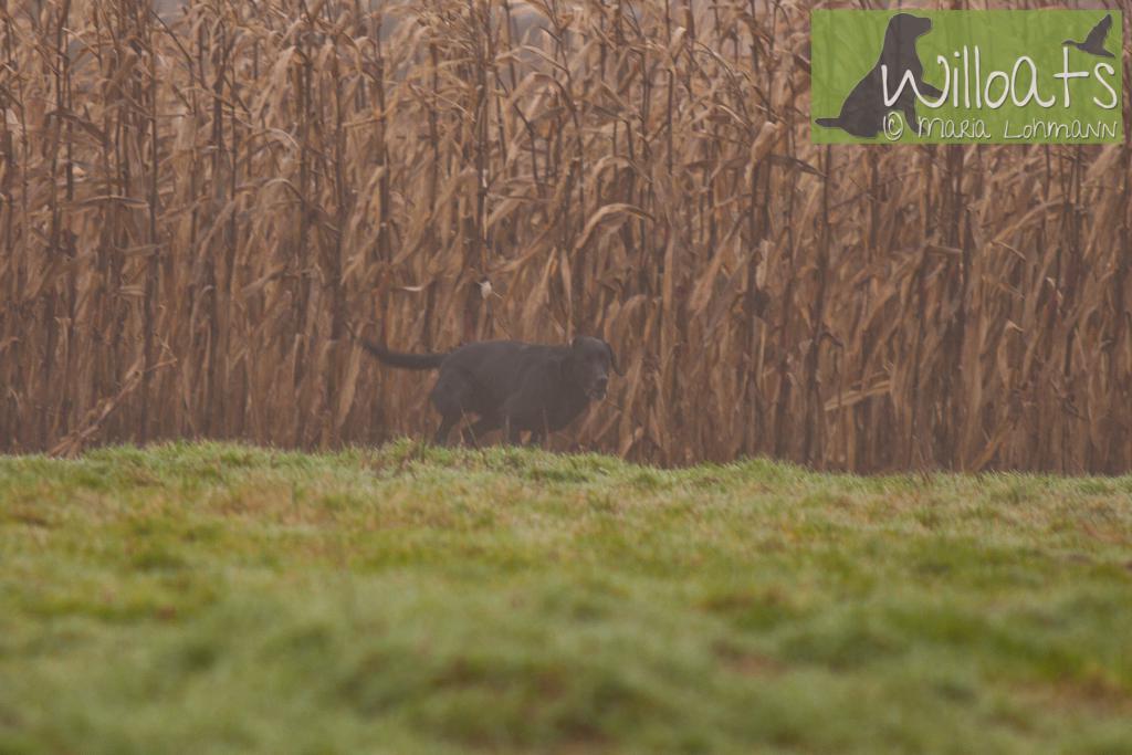 FRFTCH Ravensbank Sir Lancelot (Lance) på Field Trial i Frankrig med sin fører, Anne Besnard. Januar 2015.©Maria Lohmann, Kennel Willoats