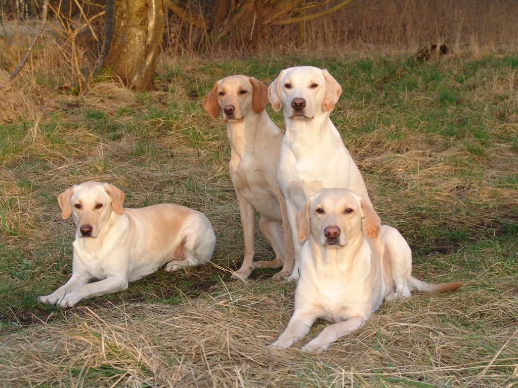 Her er min lille flok fotograferet i februar 2008. I forgrunden er det Tidemark Ivy (Ivy) og til venstre er det Tidemark Jill (Jill). De to hunde der sidder op er Ravensbank Wagtail (Waggie) (mørk) og Ravensbank Robin (Robin) (lys). Billedet er taget i februar 2008. ©Ravensbank Labrador Retrievers