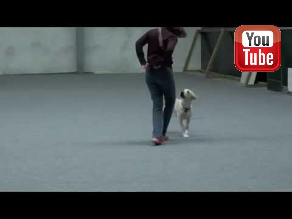 LP1, LP2 Ravensbank Tarzan (Buddy) bliver trænet som unghund her hvor han er 6 måneder gammel på denne video.©Jan Kublitz