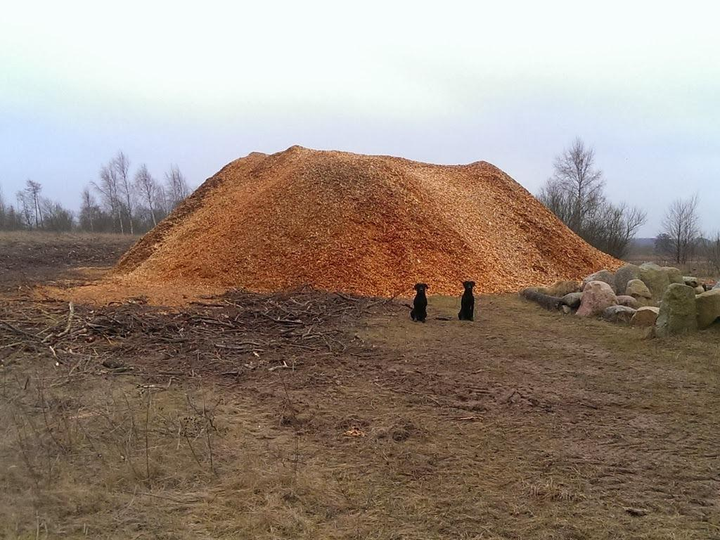 Following the chipping of all the trees from Aagaarden, there is this pile of 700 m3 of flakes. It is Ravensbank Jock (Jock) to the left and Ravensbank Bob (Bob) to the right. ©Ravensbank Labrador Retrievers