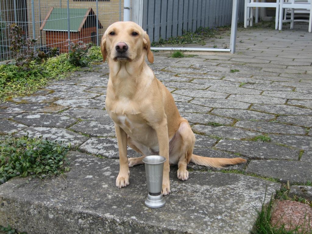 2UM2008 Ravensbank Skylark (Skylark) har vundet sin første 1. pr. i begynder klasse på B-prøve og er blevet dagens bedste hund, og taget pokalen. Det skete d. 29 marts 2008 på Clausholm Slot ved Randers.©Thomas Pedersen
