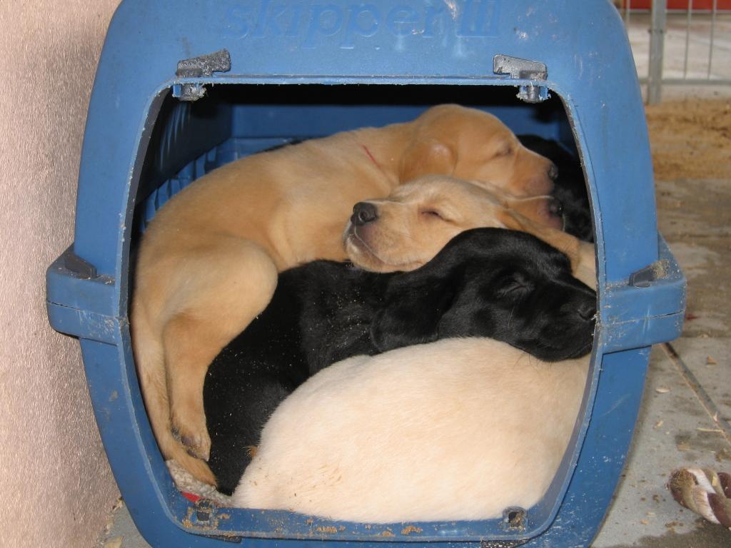 Fra Ivy's første kuld født d. 30. august 2006. På billedet er hvalpene 6 uger gamle, og de elskede at putte sig sammen inde i denne kasse. Alle syv på een gang!©Ravensbank Labrador Retrievers