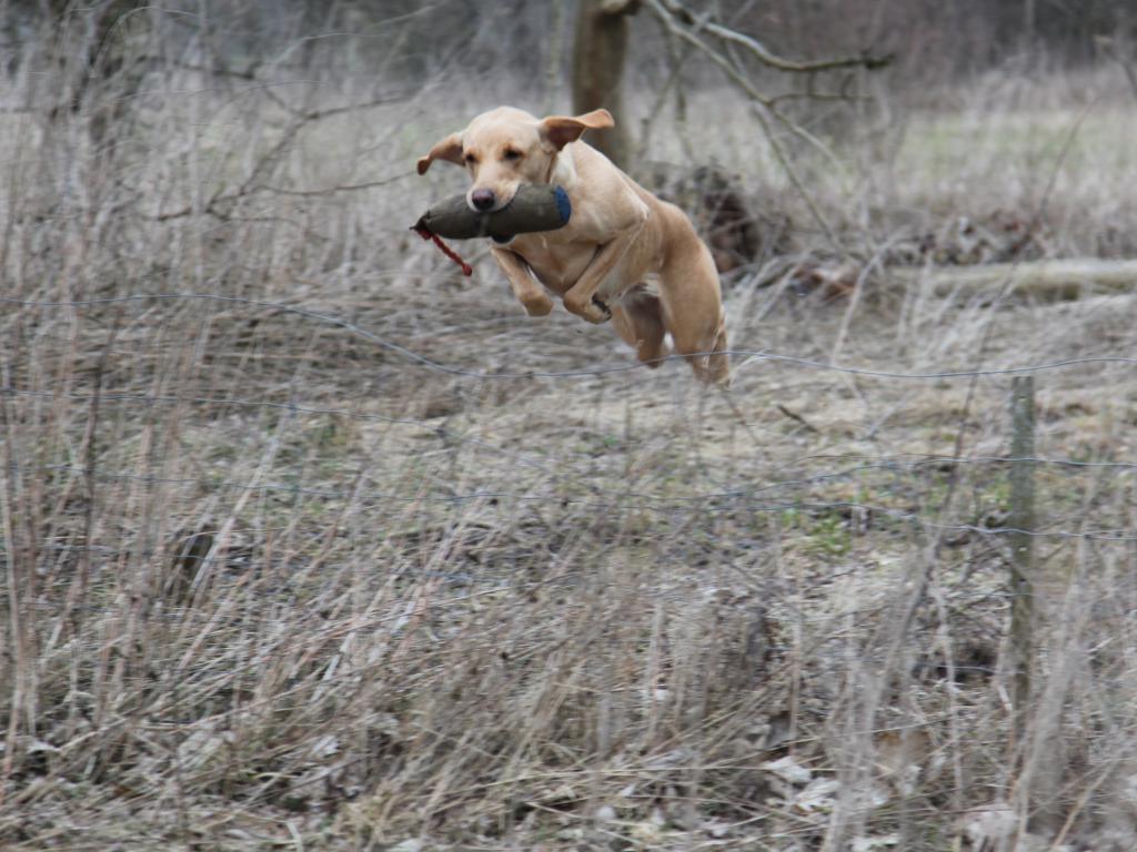 Som Formel-1 labrador er Ravensbank Wagtail (Waggie) en super adræt hund, der let forcerer fårehegn og andre forhindringer. Man skulle tro, at det var noget hun gjorde fordi jeg beder hende om det, men faktisk vælger hun selv at springe over hegn hvis hun kan se, at det er en genvej, og at hun kommer hurtigere hjem til mig med en fugl - eller som i dette tilfælde en dummy.©Knud Erik Thinggaard