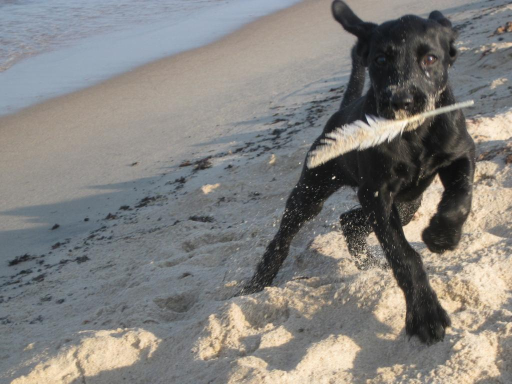 A lovely picture from a summers day on the beach, and a playful Ravensbank Queen Guinevere (Genie).©Marianne Graversen
