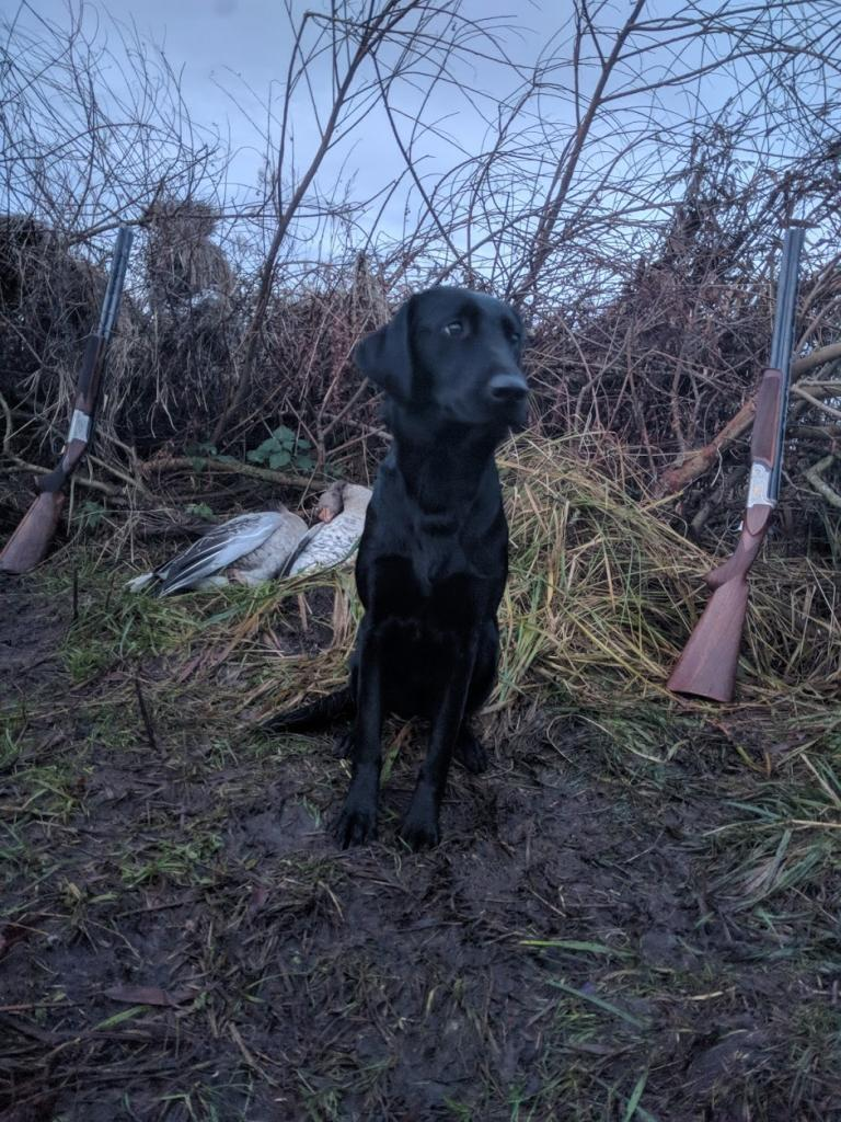 Ravensbank Holly (Holly) debuts on goose hunt. ©Ravensbank Labrador Retrievers