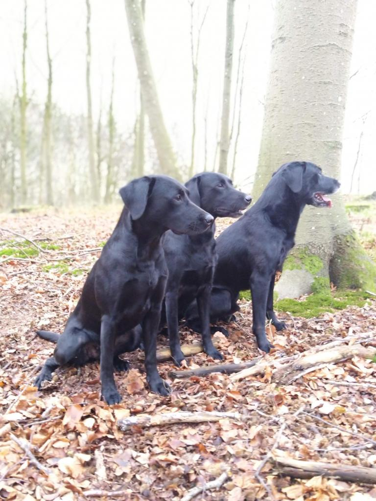 The shooting has started, and Squareclose Wendy (Nessie) in the fron is calm but ready. Behind Nessie is Ravensbank Biscuit (Bibi) and Ravensbank Bob (Bob). ©Ravensbank Labrador Retrievers