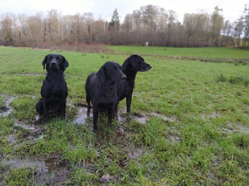 Squareclose Wendy (Nessie) appears to most interested in looking at me, while Ravensbank Bob (Bob) to the right and Ravensbank Biscuit (Bibi) in the middle finds the shooting more exciting. ©Ravensbank Labrador Retrievers
