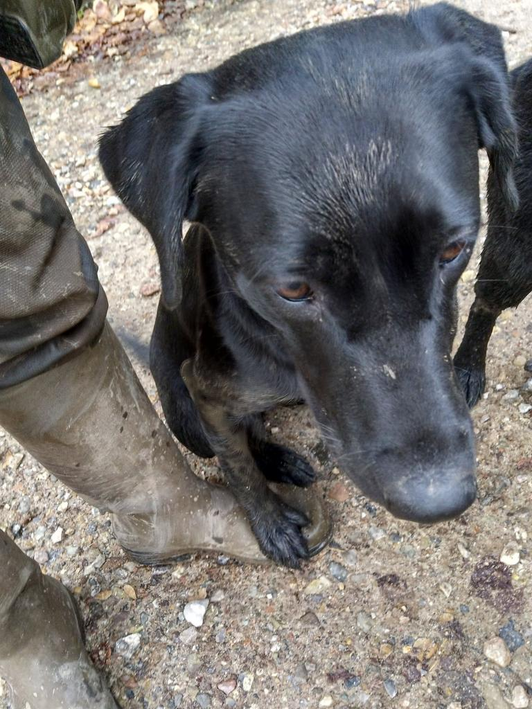 Sort of a trademark for me is that the dog in ready position puts its right paw on my left boot. Squareclose Wendy (Nessie) is no exception to this. ©Ravensbank Labrador Retrievers