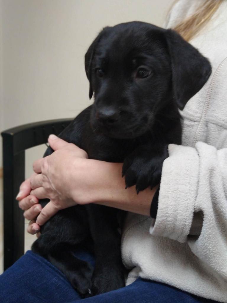 () syv uger gammel.©Ravensbank Labrador Retrievers