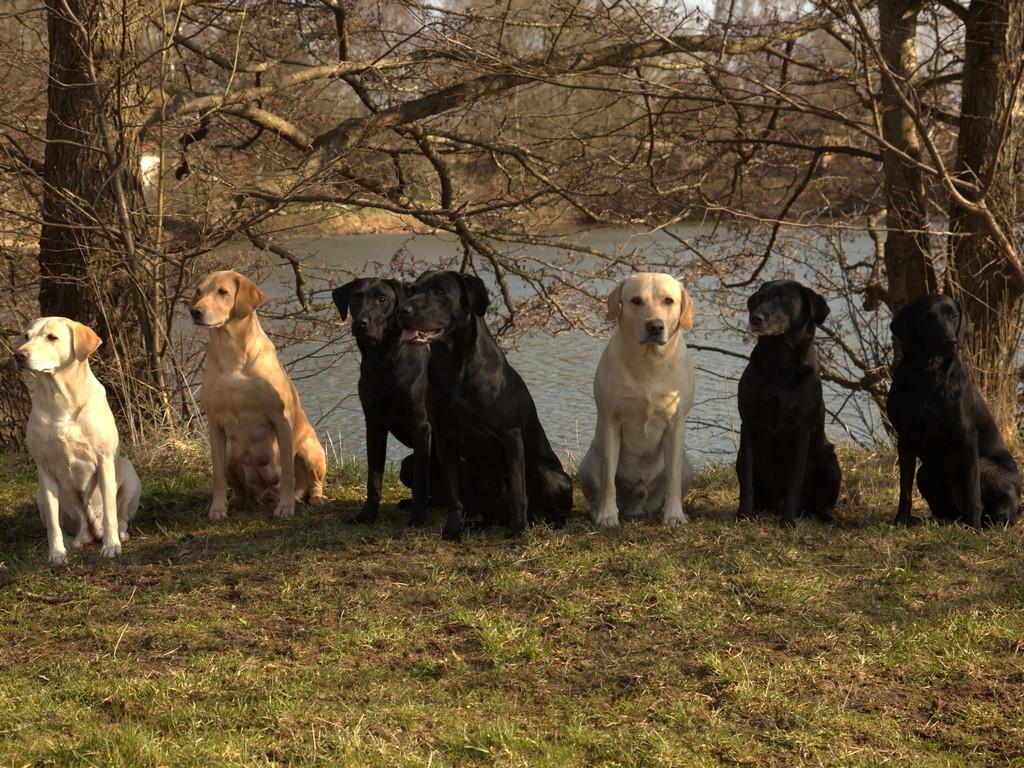 Group picture with a bunch of lovely Ravensbank dogs. The picture is taken in April 2013. From the left it is Tidemark Ivy (Ivy), Ravensbank Wagtail (Waggie), little boy Ravensbank Bob (Bob), Ravensbank Jock (Jock), FI KVA, SE KVA Ravensbank Tip (Tipi) and his litter sister Ravensbank Flo (Flo) and rightmost it is lovely Ravensbank Economist (Mynte).©Knud Erik Thinggaard