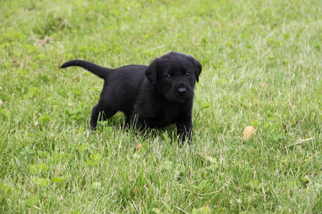 A bitch puppy, Ravensbank Holly (Holly) from Bibi's first litter in the summer of 2016 ©Jørgen Baymler