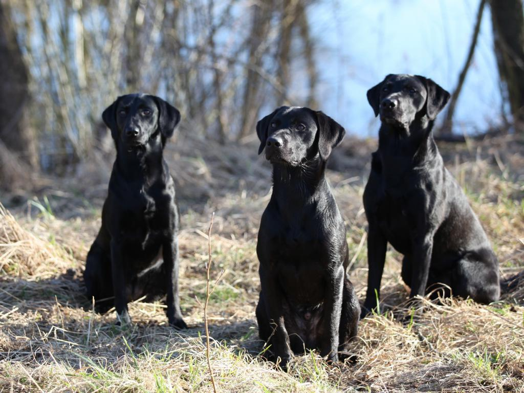 In the middle it is Ravensbank Lennox (Jack), 10 months old. Out of focus to the left it is Ravensbank Biscuit (Bibi) and to the right it is Ravensbank Bob (Bob)©Knud Erik Thinggaard