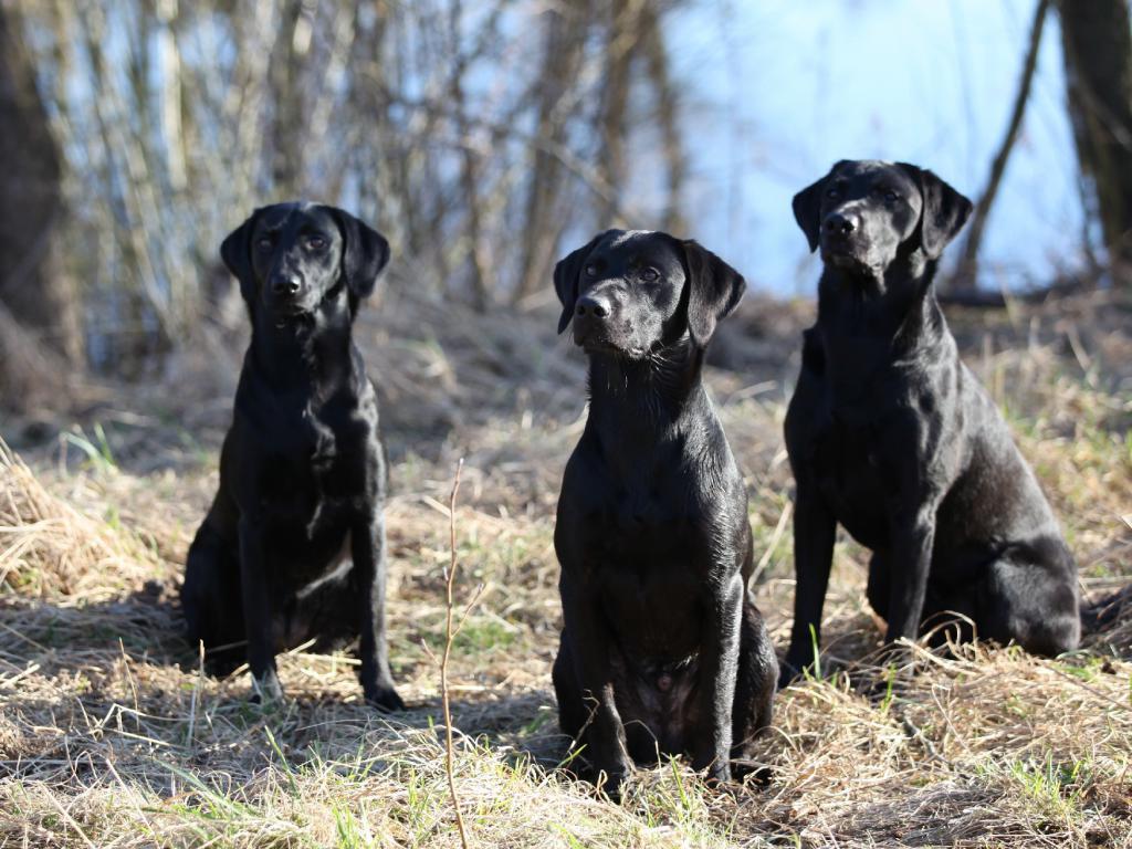I midten er det Ravensbank Lennox (Jack), 10 måneder gammel. Ude af fokus til venstre er det Ravensbank Biscuit (Bibi) og til højre er det Ravensbank Bob (Bob)©Knud Erik Thinggaard