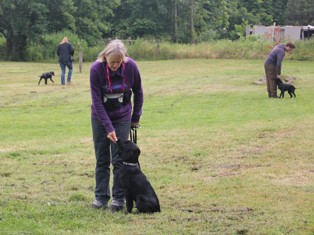 Ravensbank Dundee (Dundee) at puppy-training with Ms. Ann Jensen in July 2014, where Dundee is 4 months old. In the background you see to the right Dundee siblings Ravensbank Ice (Maggie) and Ravensbank Angel (Nellie) to the left.©John Smed Andersen