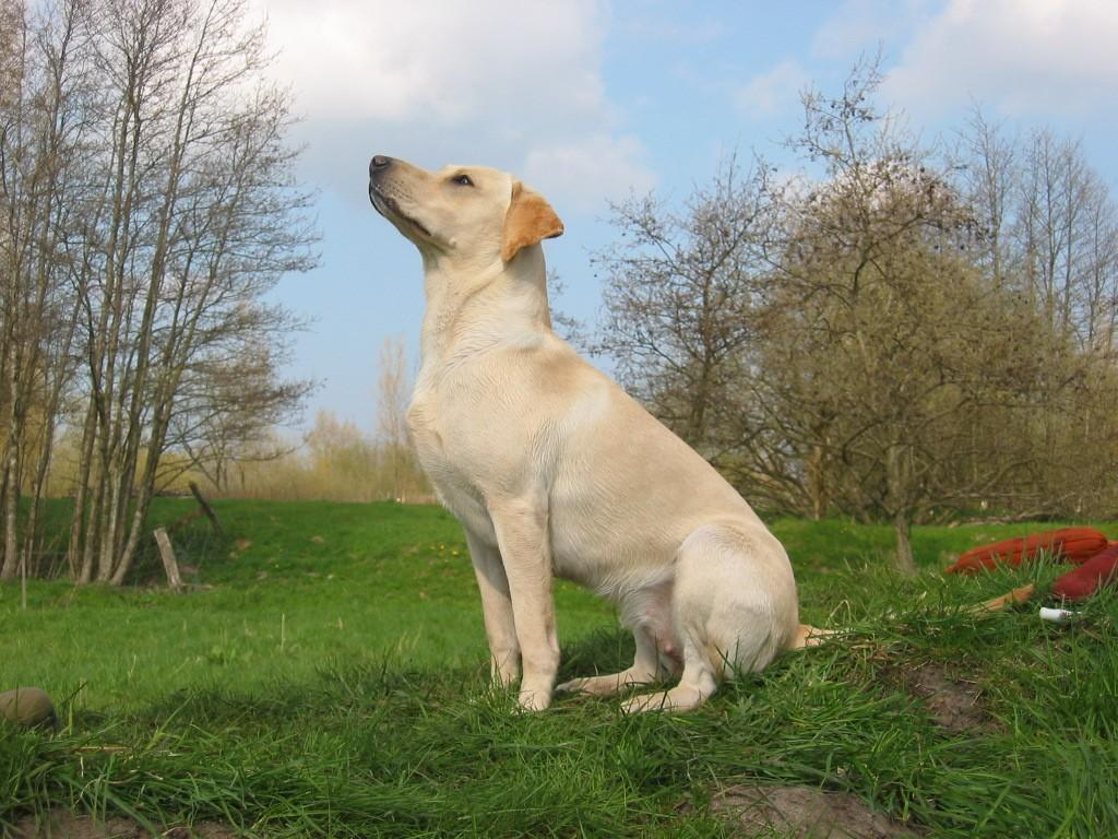 Tidemark Ivy (Ivy) as a young dog. Enjoy how she can connect with her handler. A great ability which she has passed on to her progeny.©Ravensbank Labrador Retrievers