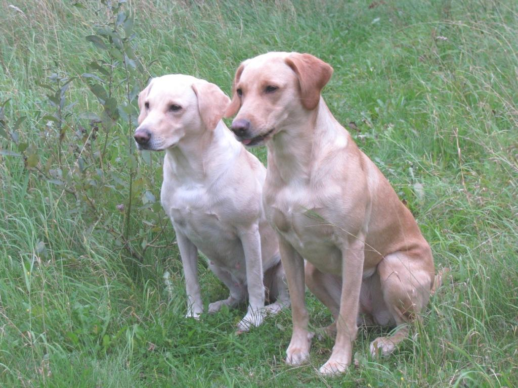 Tidemark Ivy (Ivy) and Ravensbank Wagtail (Waggie) during a training session in September 2008.©Tobina Nyman, Kennel Chilihunters (FI)