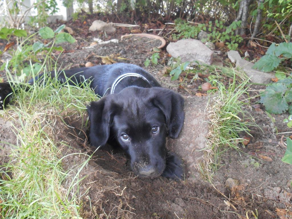 Her er hvalpen Ravensbank Moss (Jacques) bare 8 uger gammel.©Marianne West