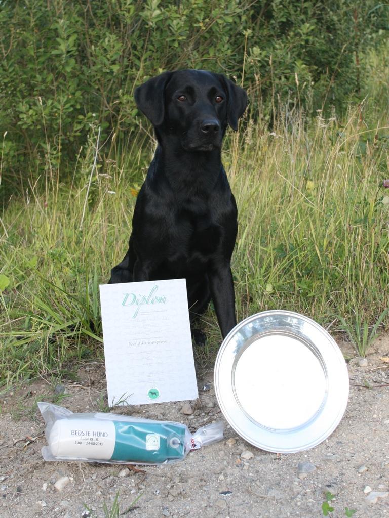 Ravensbank Sir Kay (Tino) på dagen hvor han først består kvalifikationsprøven, og dernæst får første præmie og bliver dagens bedste hund i åben klasse på B-prøve.©Charlotte Rasmussen