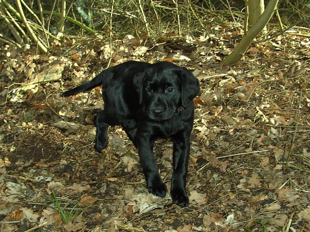 Lille Ravensbank Mint (Minte) otte uger gammel og en tur med i skoven.©Helle Voigt