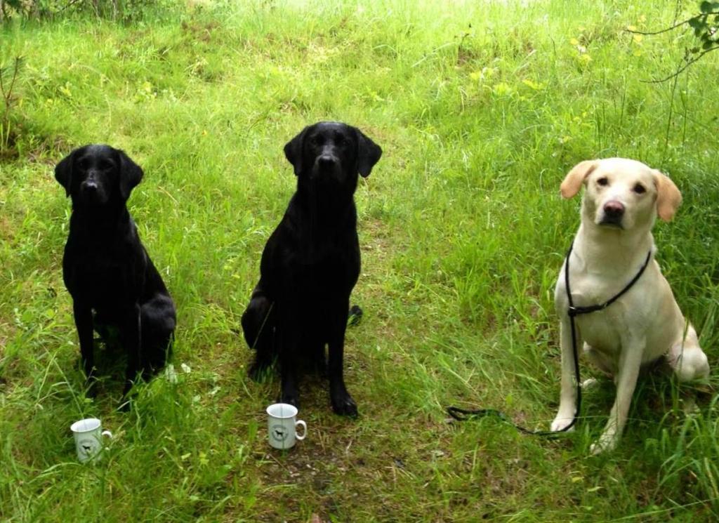 Fra højre er det Ravensbank Sun (Sun), i midten er det 2UM2014 Ravensbank Floyd (Lewis) og til venstre er det Ravensbank Mint (Minte). Billedet er fra Uofficiel Working Test d. 22. juni 2013, hvor alle tre hunde består, og Minte bliver 9WT og Lewis bliver 10WT med imponerende 85 point og 42 konkurrenter.©Helga Thorstein