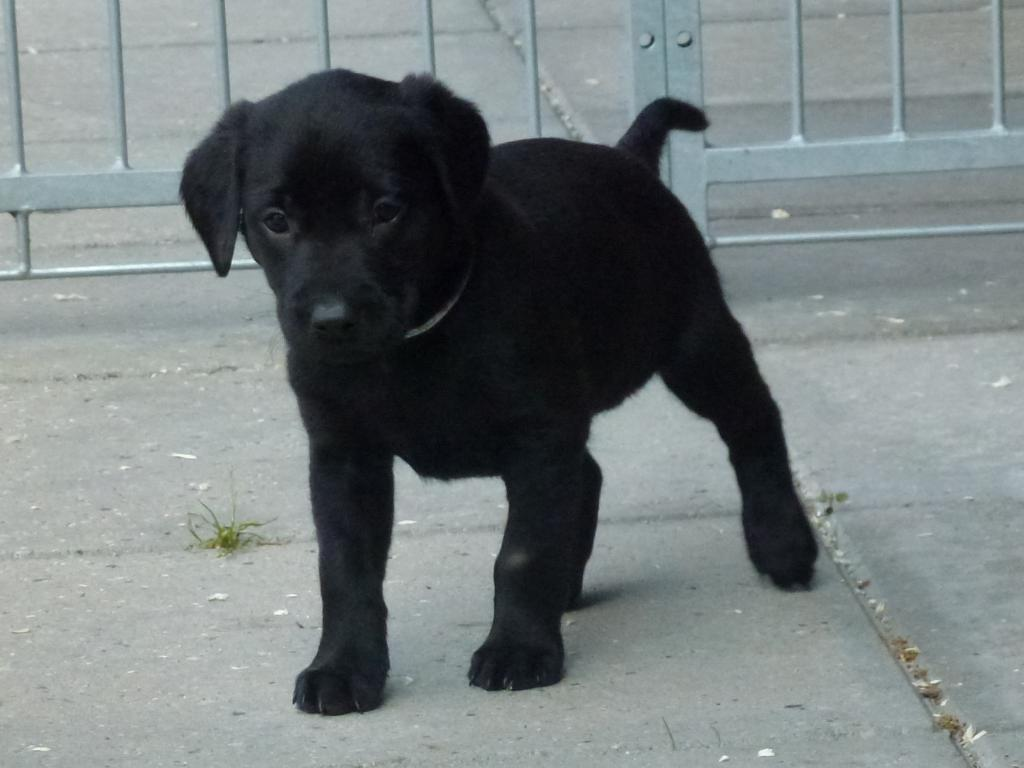 The  only black bitch in this litter, Ravensbank Economist (Mynte), had a lot of attitude going for her. ©Ravensbank Labrador Retrievers