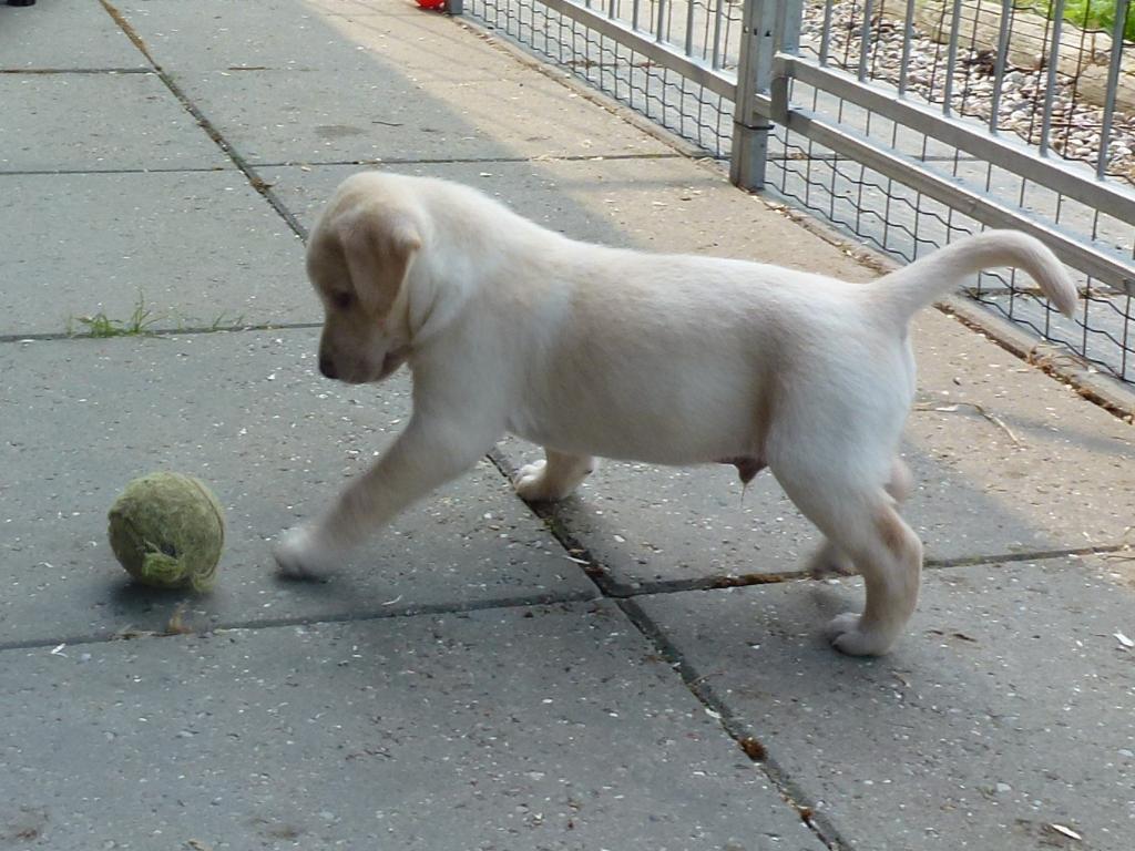 Ravensbank Sun (Sun) is having fun with a tennis ball. He is six weeks old.©Ravensbank Labrador Retrievers