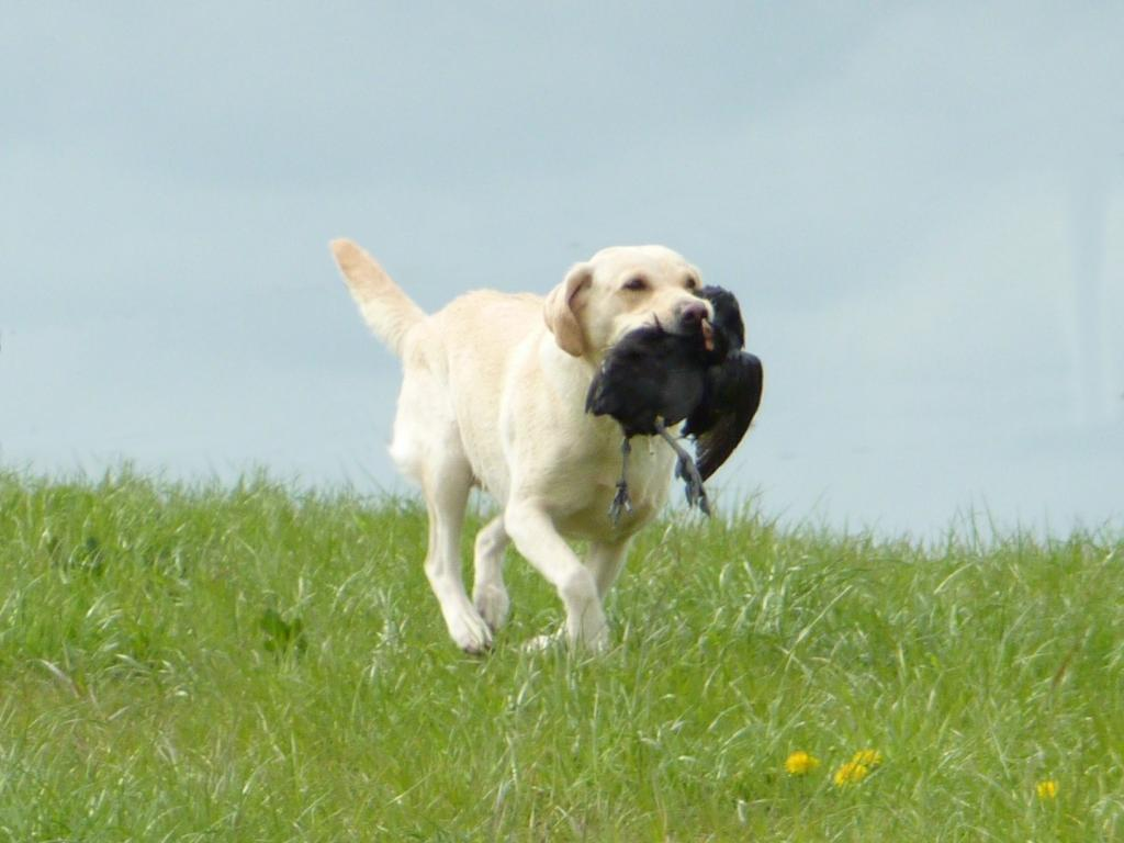 Training towards the Team Championship is constantly stretching the dogs. Here Tidemark Ivy (Ivy) is returning with one of the longer marks.©Ravensbank Labrador Retrievers
