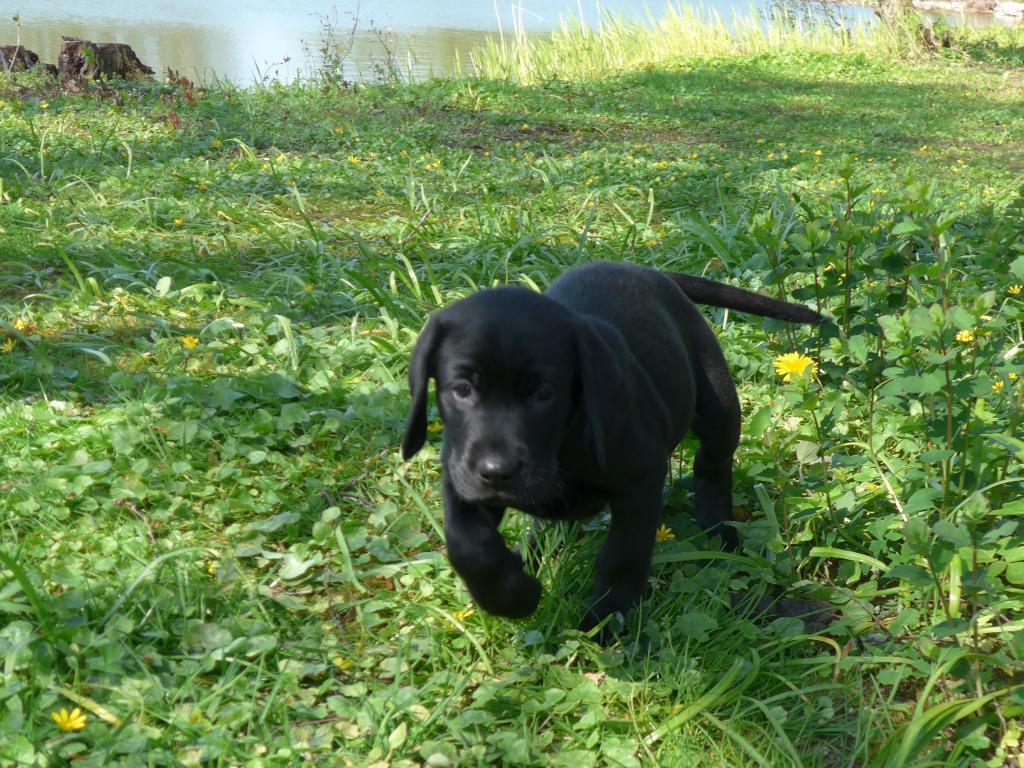 Ravensbank Eton (Eton) 7 uger gammel©Ravensbank Labrador Retrievers