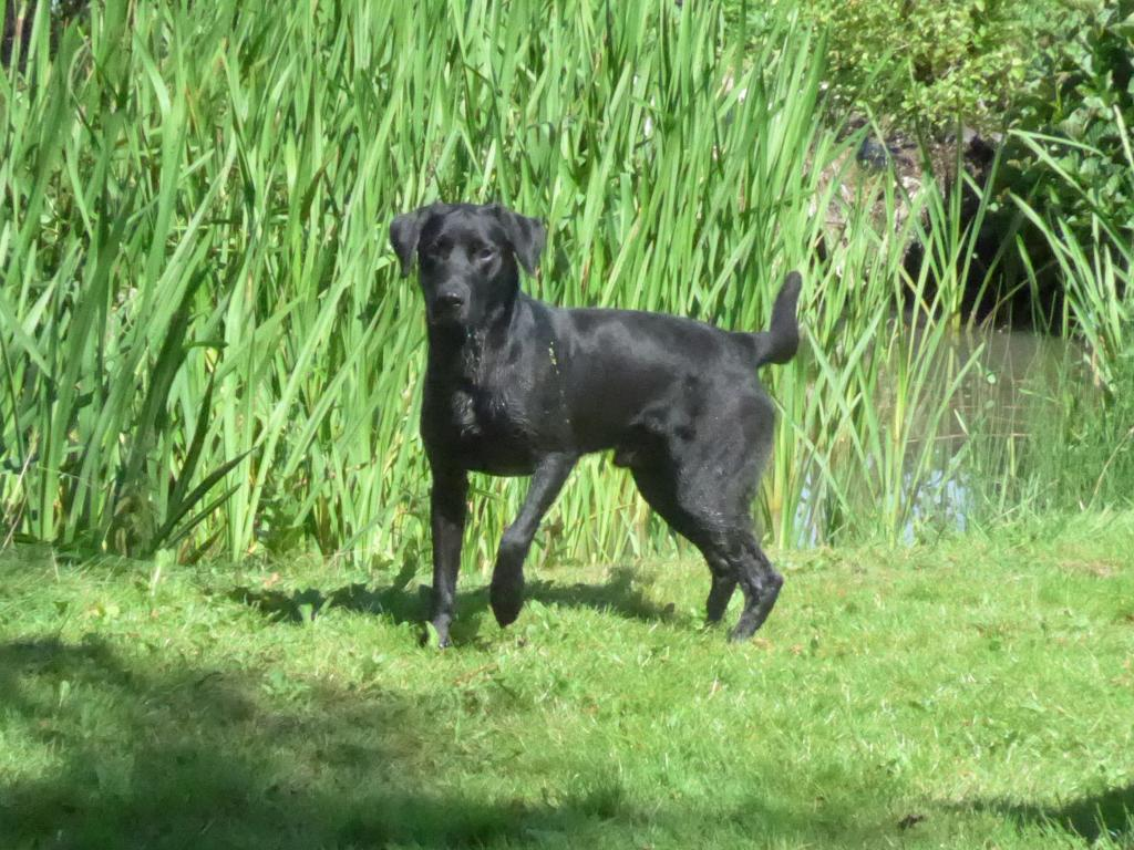Ravensbank Bob (Bob), 1 year and 11 months old ©Ravensbank Labrador Retrievers