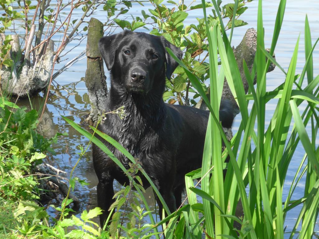 Ravensbank Bob (Bob), 1 år og 11 måneder gammel©Ravensbank Labrador Retrievers