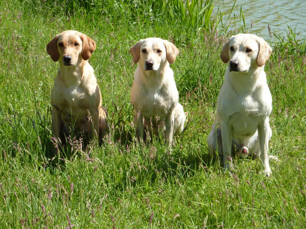 A lovely day in June 2009, Nina and Niels Poulsen paid us a visit together with their dogs. To the right Ravensbank Robin (Robin), to the left is his sibling Ravensbank Wagtail (Waggie) getting a short break from her puppies. In the middle their mum, Tidemark Ivy (Ivy). ©Ravensbank Labrador Retrievers