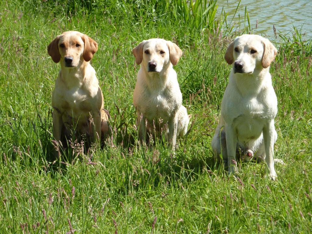 En dejlig junidag 2009 havde jeg besøg af Nina og Niels og deres hund Ravensbank Robin (Robin) (til højre). Til venstre er det hans kuldsøster Ravensbank Wagtail (Waggie) der får sig et kort break fra hvalpene. I midten er det deres mor, Tidemark Ivy (Ivy). ©Ravensbank Labrador Retrievers
