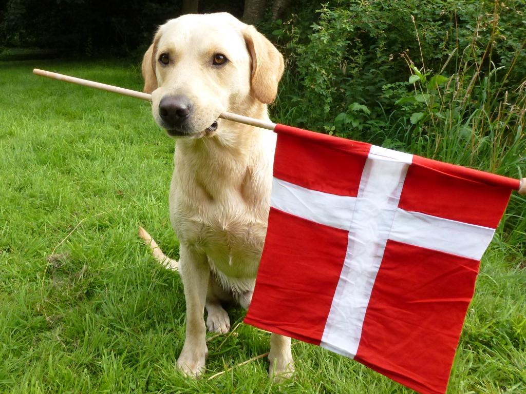 FI KVA, SE KVA Ravensbank Tip (Tipi) kipper med det danske flag.©Ravensbank Labrador Retrievers