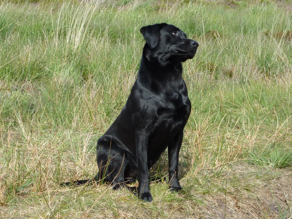 This picture is DKBRCH DKJCH Lochiness Green Chive (Chive) who is the sire to a 2009 and a 2010 litter of pups with Ravensbank Wagtail (Waggie) as dam.©Ravensbank Labrador Retrievers