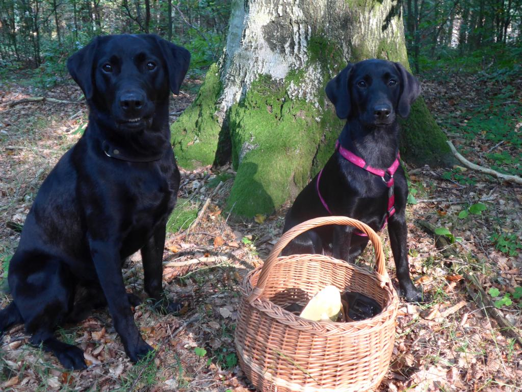 Mushroom picking in September 2014 with Ravensbank Biscuit (Bibi) to the right and Ravensbank Bob (Bob) to the left. ©Ravensbank Labrador Retrievers