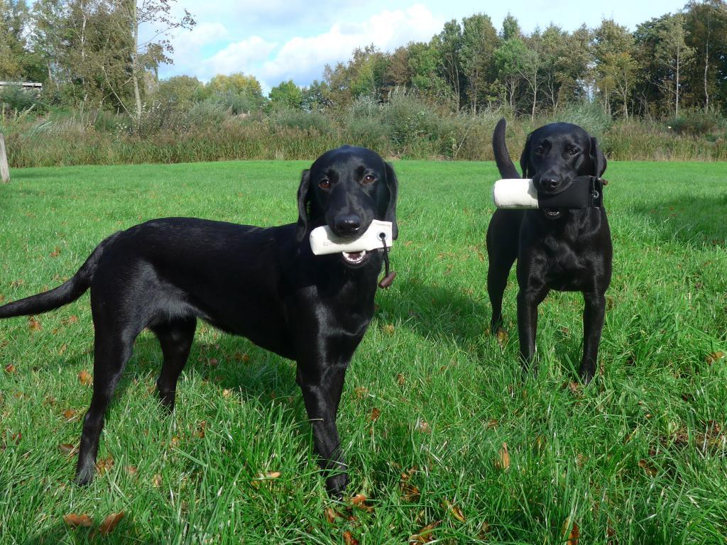 Sponsor gifts from SPORTY GUNDOGS which Ravensbank Bob (Bob) won at his debut Field Trial. Bob holds the big dummy himself and in the front his little helper Ravensbank Biscuit (Bibi) seven months old holds the second dummy in the gift.©Ravensbank Labrador Retrievers