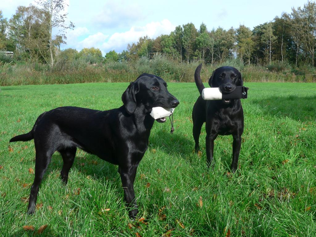 When Ravensbank Bob (Bob) brought home two prize dummies after his novice FT debut in October 2014, little Ravensbank Biscuit (Bibi) 7 months old took on her to assist Bob showing off. ©Ravensbank Labrador Retrievers