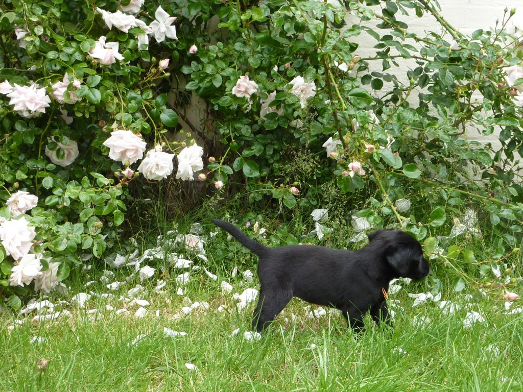 Five weeks old Ravensbank Queen Guinevere (Genie) from Waggie's first litter. ©Ravensbank Labrador Retrievers
