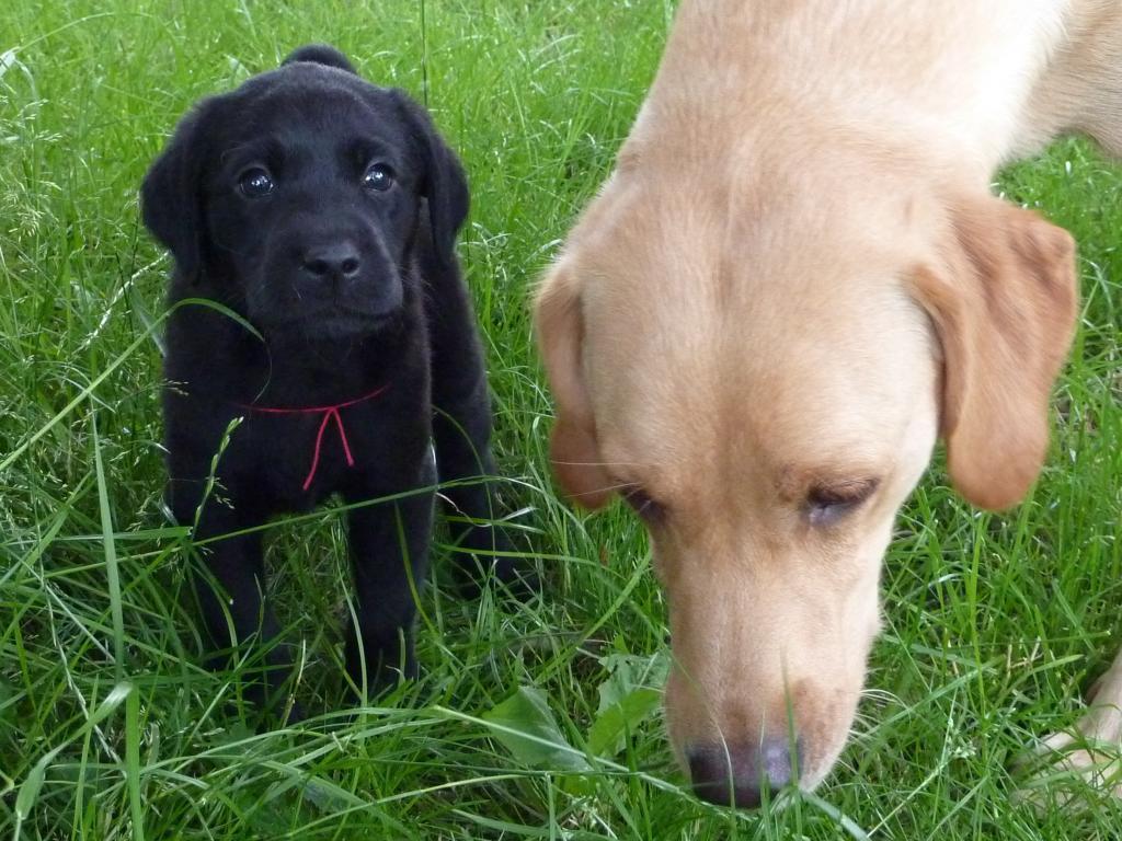 FRFTCH Ravensbank Sir Lancelot (Lance) og mor Ravensbank Wagtail (Waggie).©Ravensbank Labrador Retrievers
