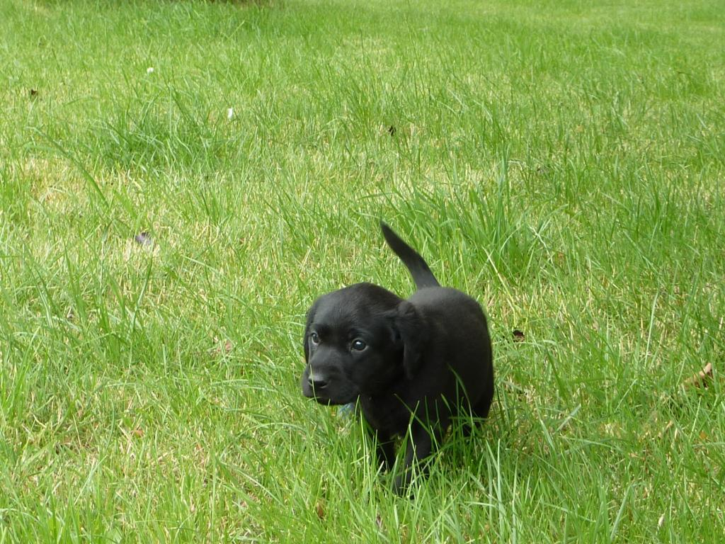 Ravensbank King Arthur (Tico) - five weeks old. ©Ravensbank Labrador Retrievers