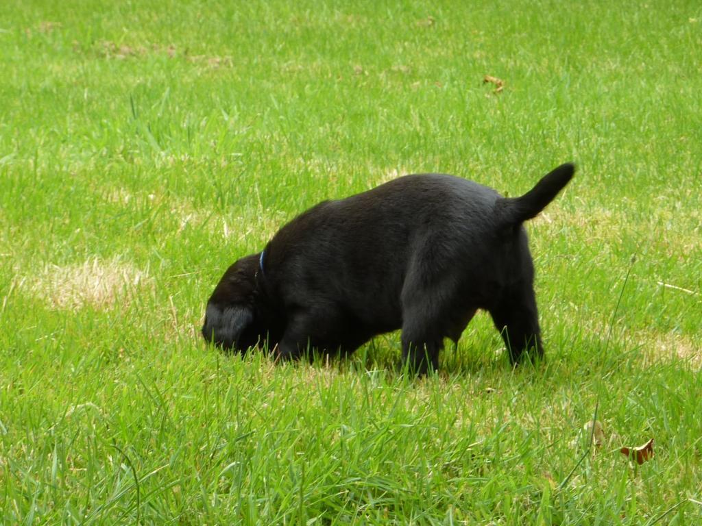 """""""Hallååå hr. muldvarp - er der nogen hjemme?"""". Ravensbank King Arthur (Tico) går på opdagelse - fem uger gammel.©Ravensbank Labrador Retrievers"""