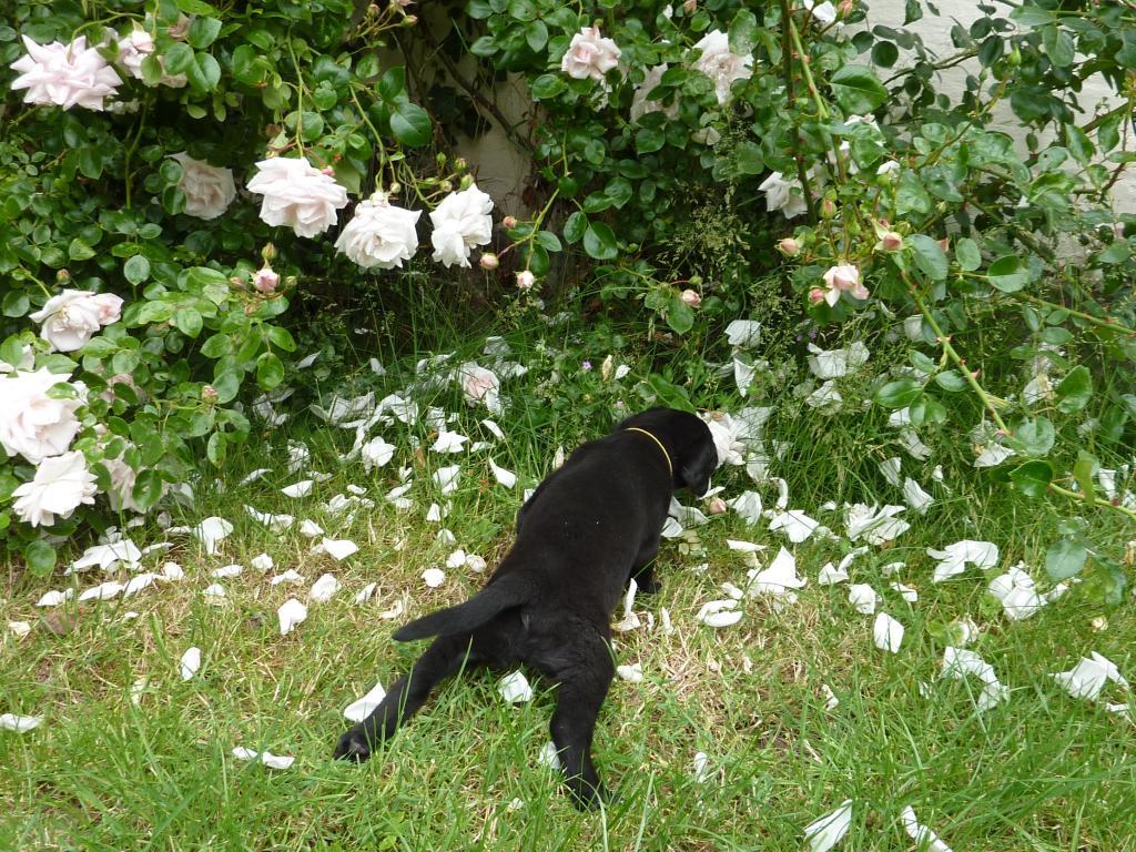 På den ene side skal rosenblad undersøges. På den anden side kan det jo være farligt.... Så ender man på maven med bagbenene strittende til siden. Her er Ravensbank Lady of the Lake (Lady) i en alder af fem uger.©Ravensbank Labrador Retrievers